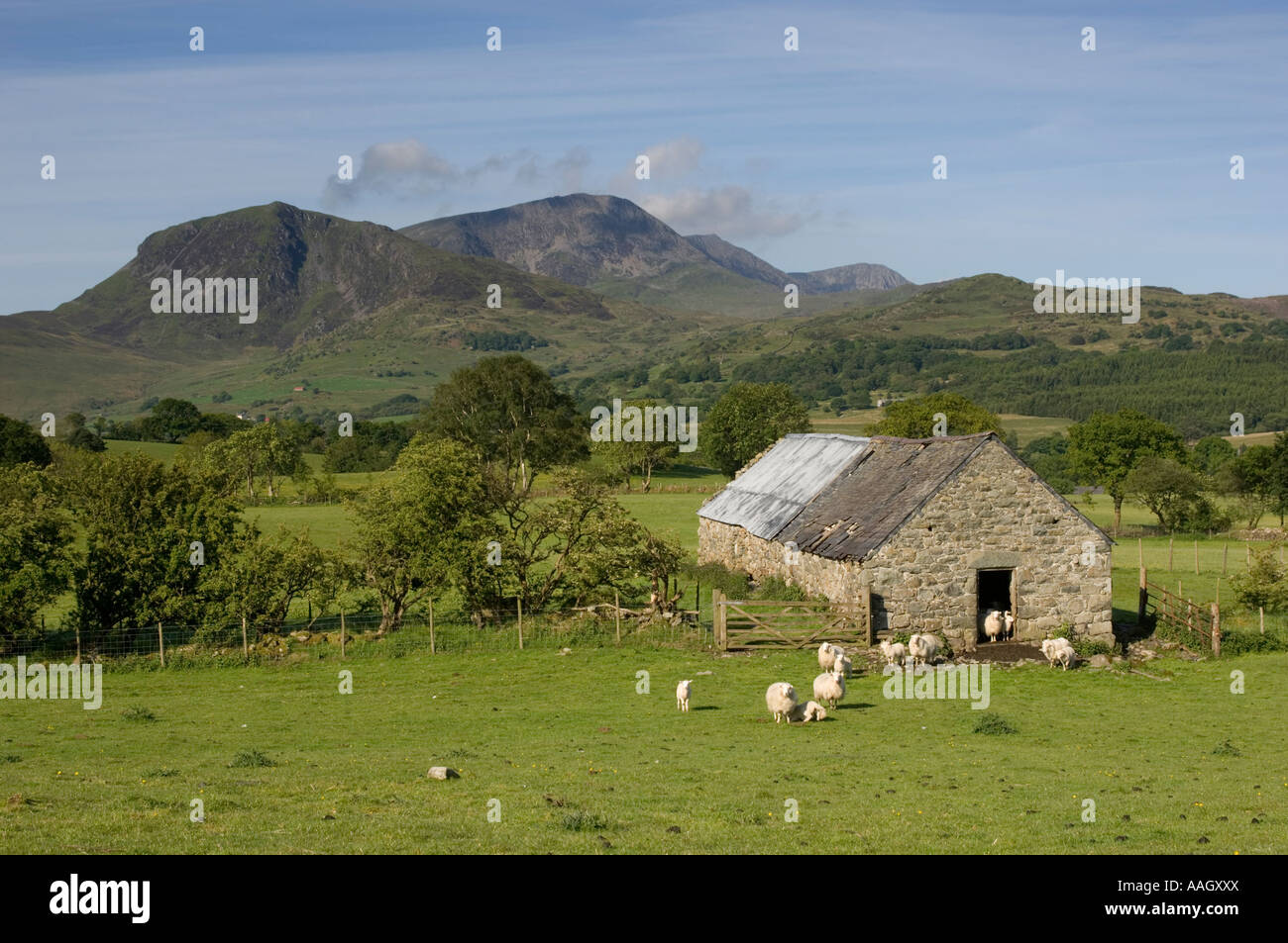 Sheep And Old Stone Barn In The Foothills Of Cadair Idris Mountain Snowdonia North Wales Summer Morning UK