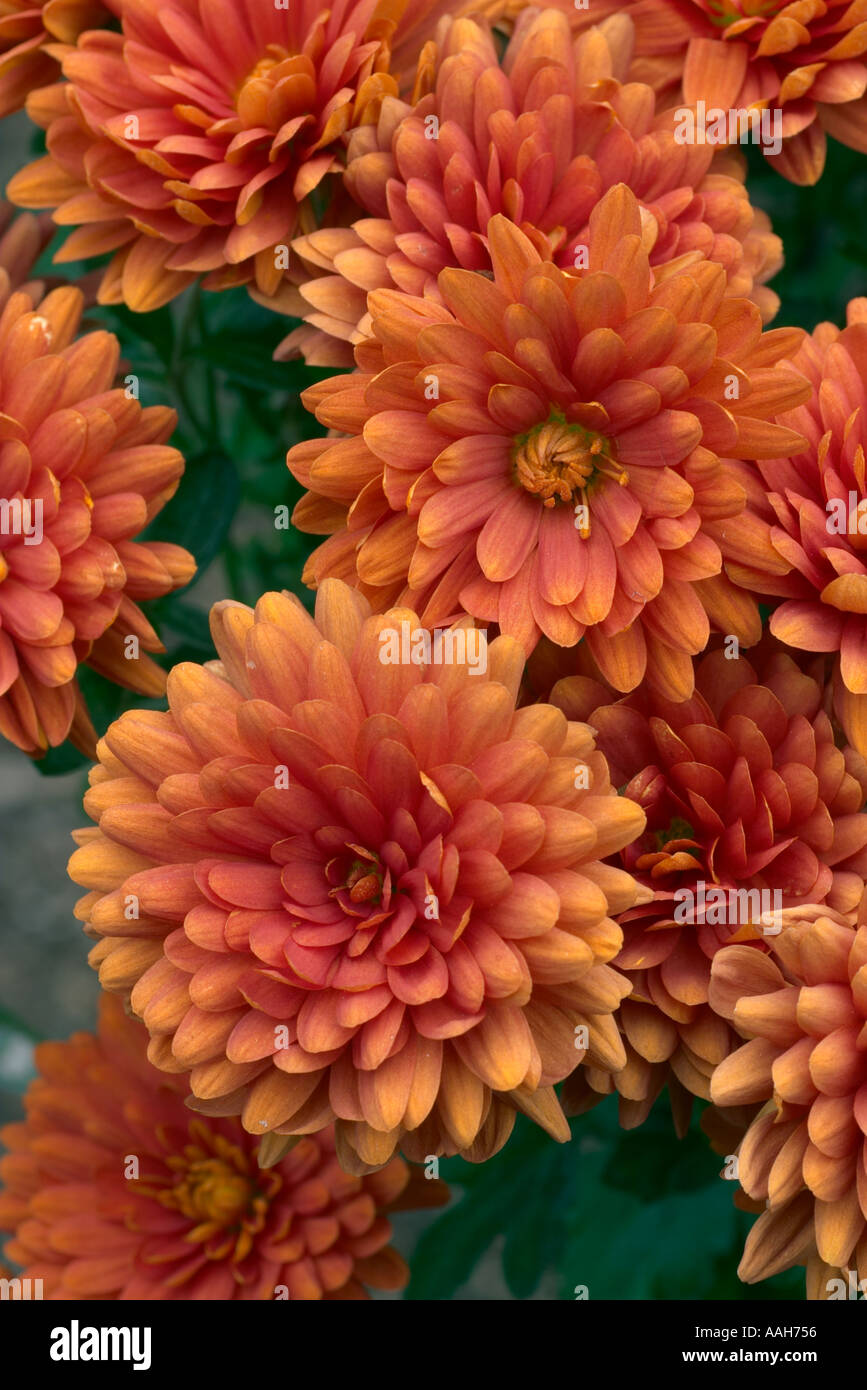 Chrysanthemum Bold Gretchen Stock Photo