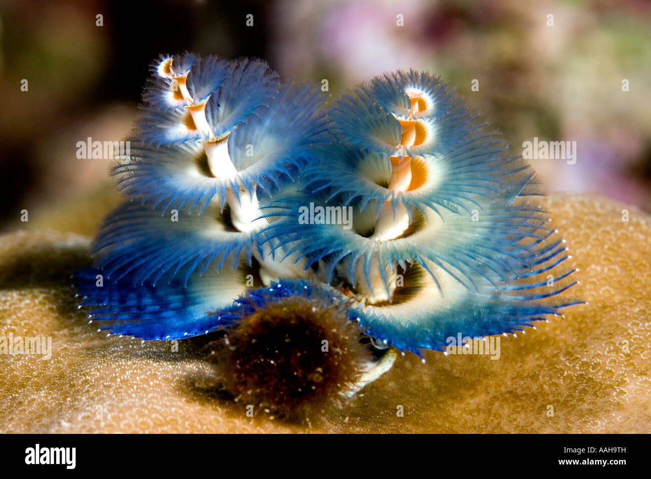 Christmas Tree Worm.Blue Tube Worm Or Christmas Tree Worm Spirobranchus