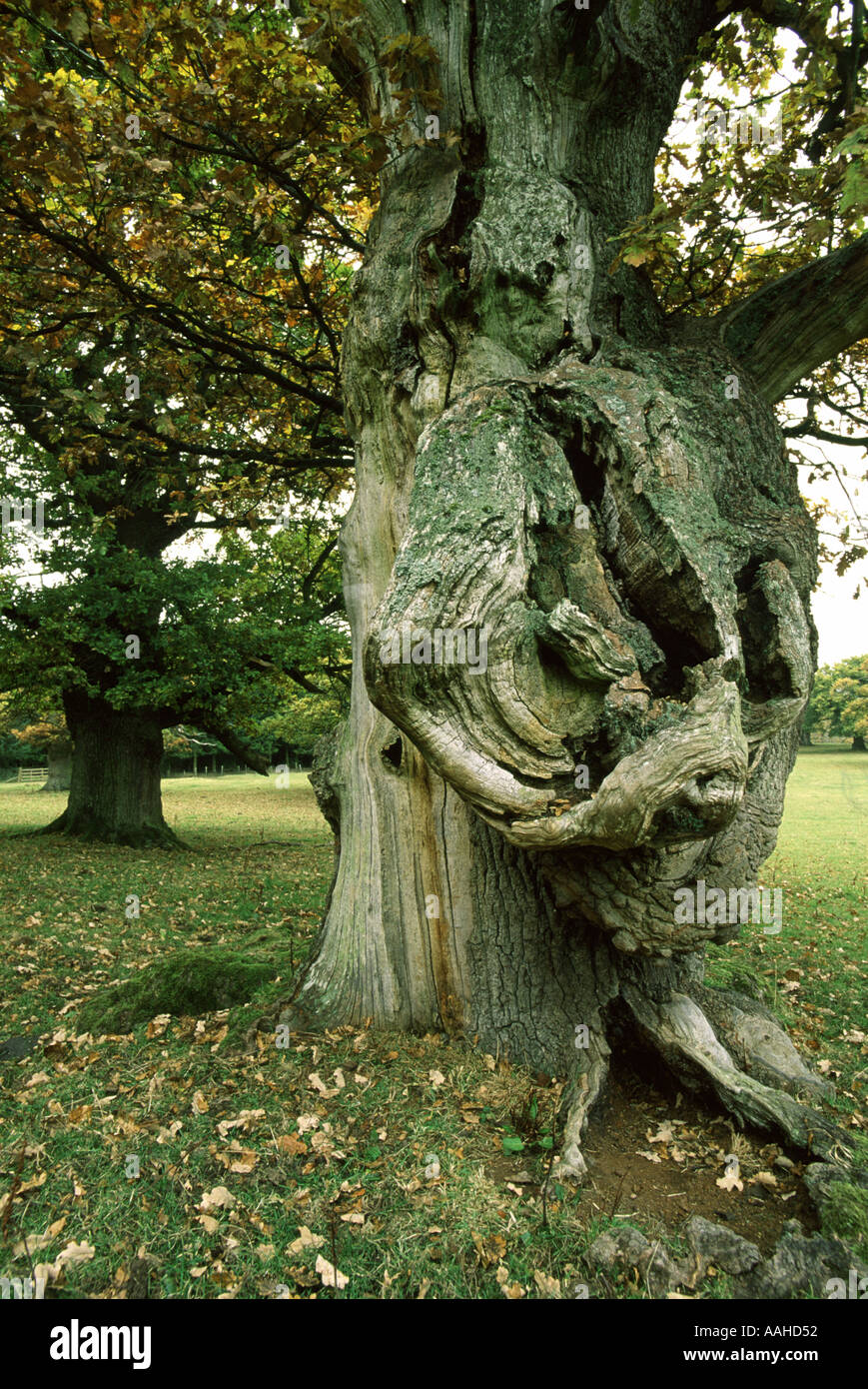 Ancient oaks Chatelherault Hamilton Scotland - Stock Image