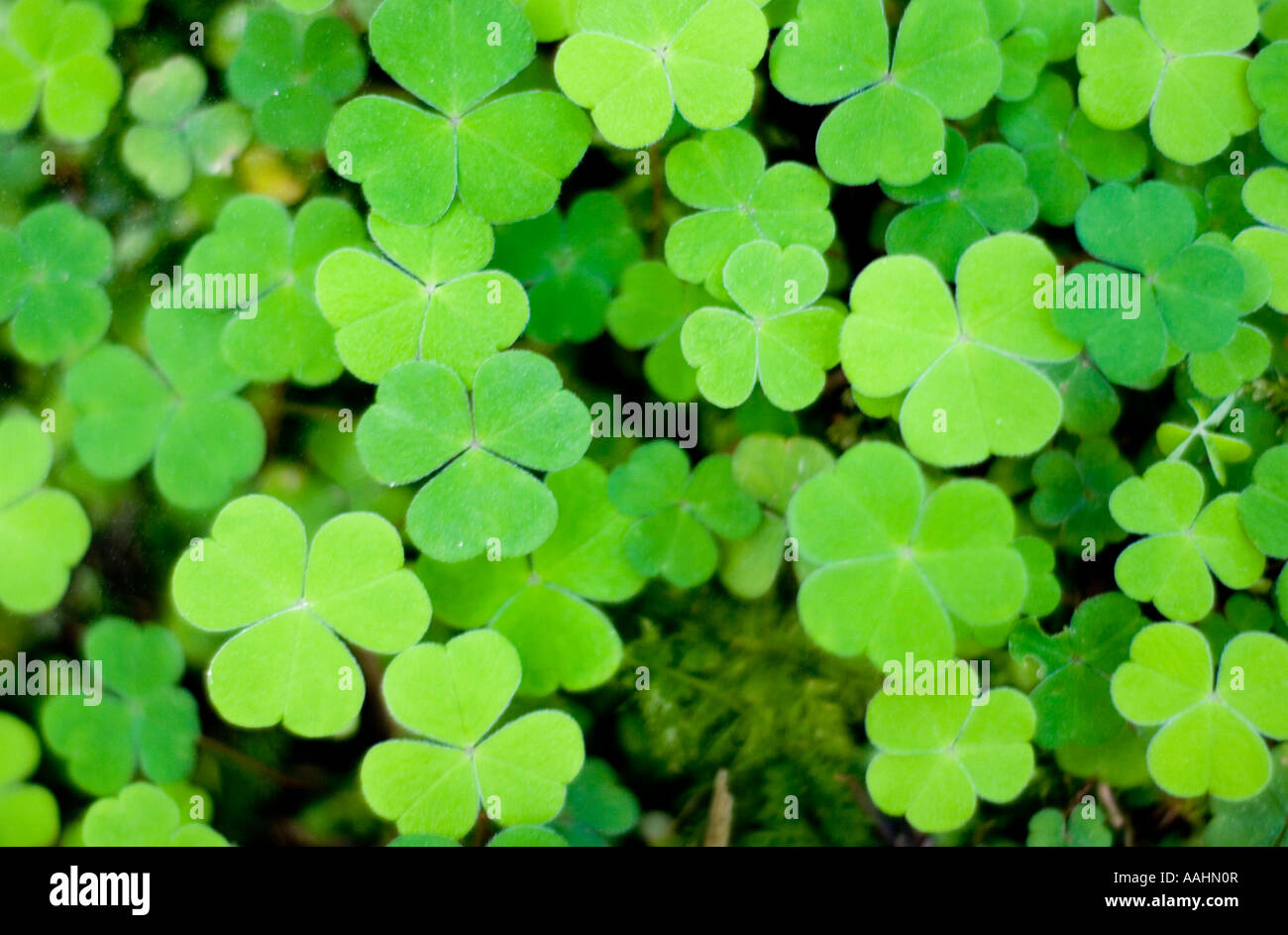 Shamrock Plant Three Leaves Stock Photos Shamrock Plant Three