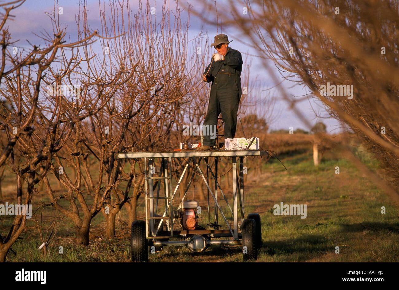 Pruning Apricot Trees Near Mildura Victoria Australia Stock Photo Alamy