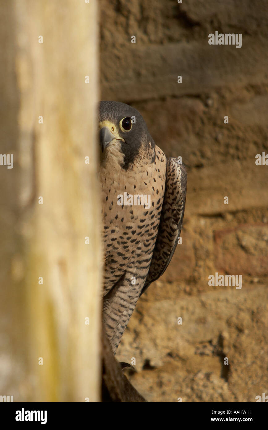 Adult of Peregrine falcon, Falco peregrinus, stands up on a wooden beam and hides behind a column in a country house. - Stock Image