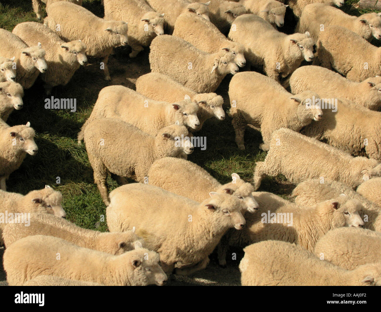 rounding up a flock of sheep new zealand - Stock Image