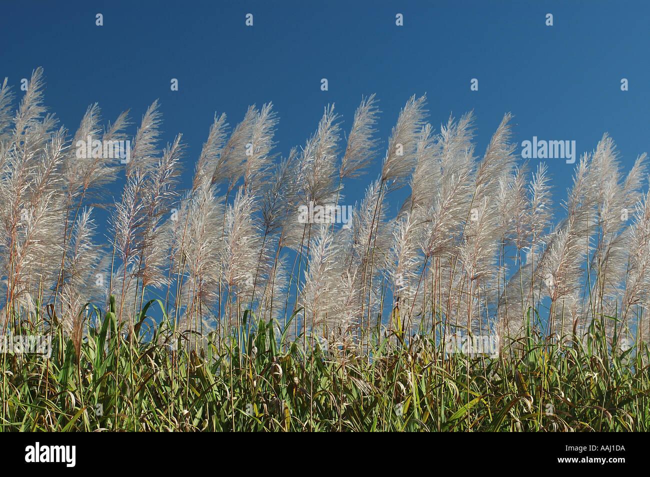 Sugarcane Transport Stock Photos & Sugarcane Transport Stock Images