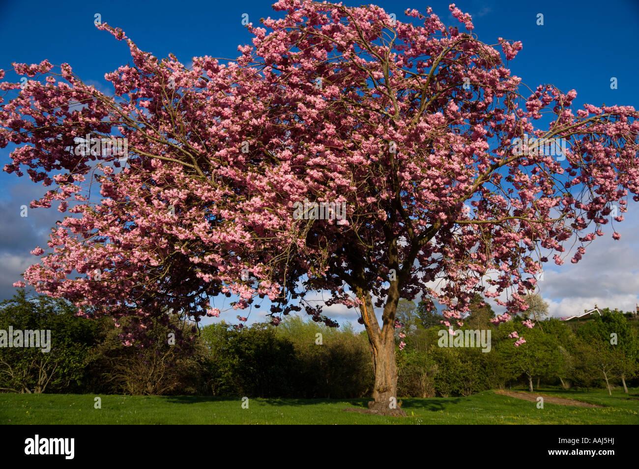 Flowering Cherry Tree In Scottish Park April Prunus Pink Flowers