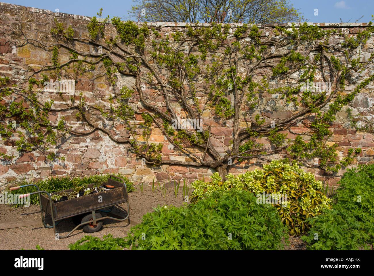Trained Fruit Trees In Walled Garden Espalier Pruned Harmony Garden Melrose  Scotland