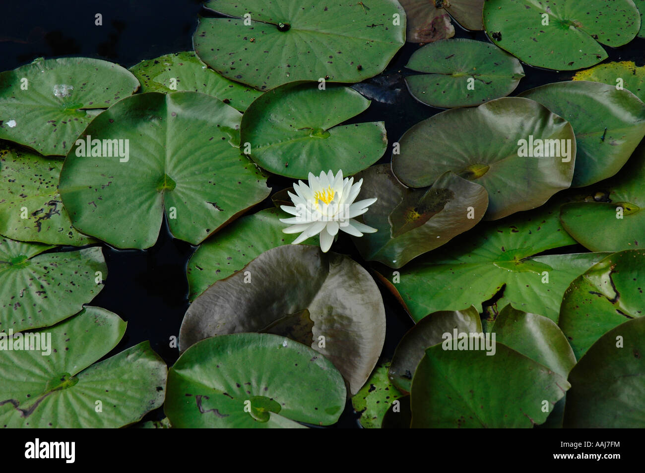 Water lily pads and flower in south carolina swamp stock photo water lily pads and flower in south carolina swamp izmirmasajfo