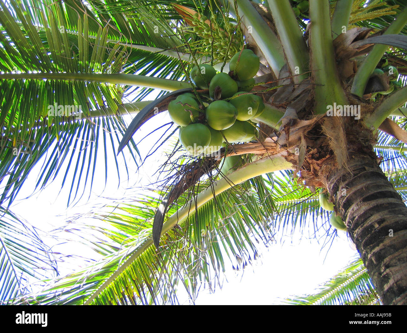Coconut tree at the secluded Praia do Madeiro beach by Baia dos Golfinhos bay in Pipa, south of Natal, Brazil. - Stock Image