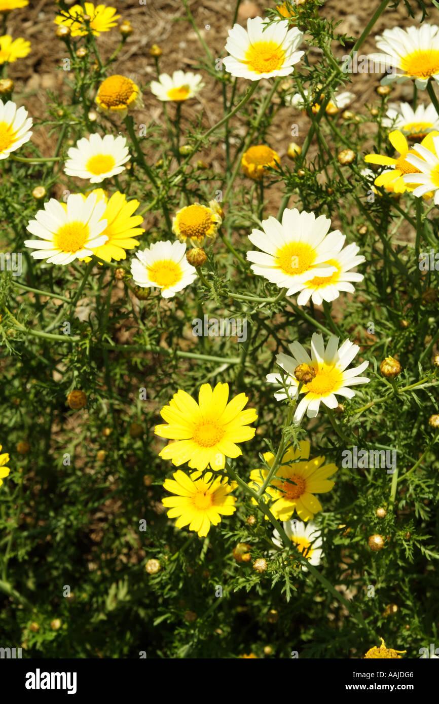 Daisy like wild flowers southern spain europe eu stock photo daisy like wild flowers southern spain europe eu izmirmasajfo
