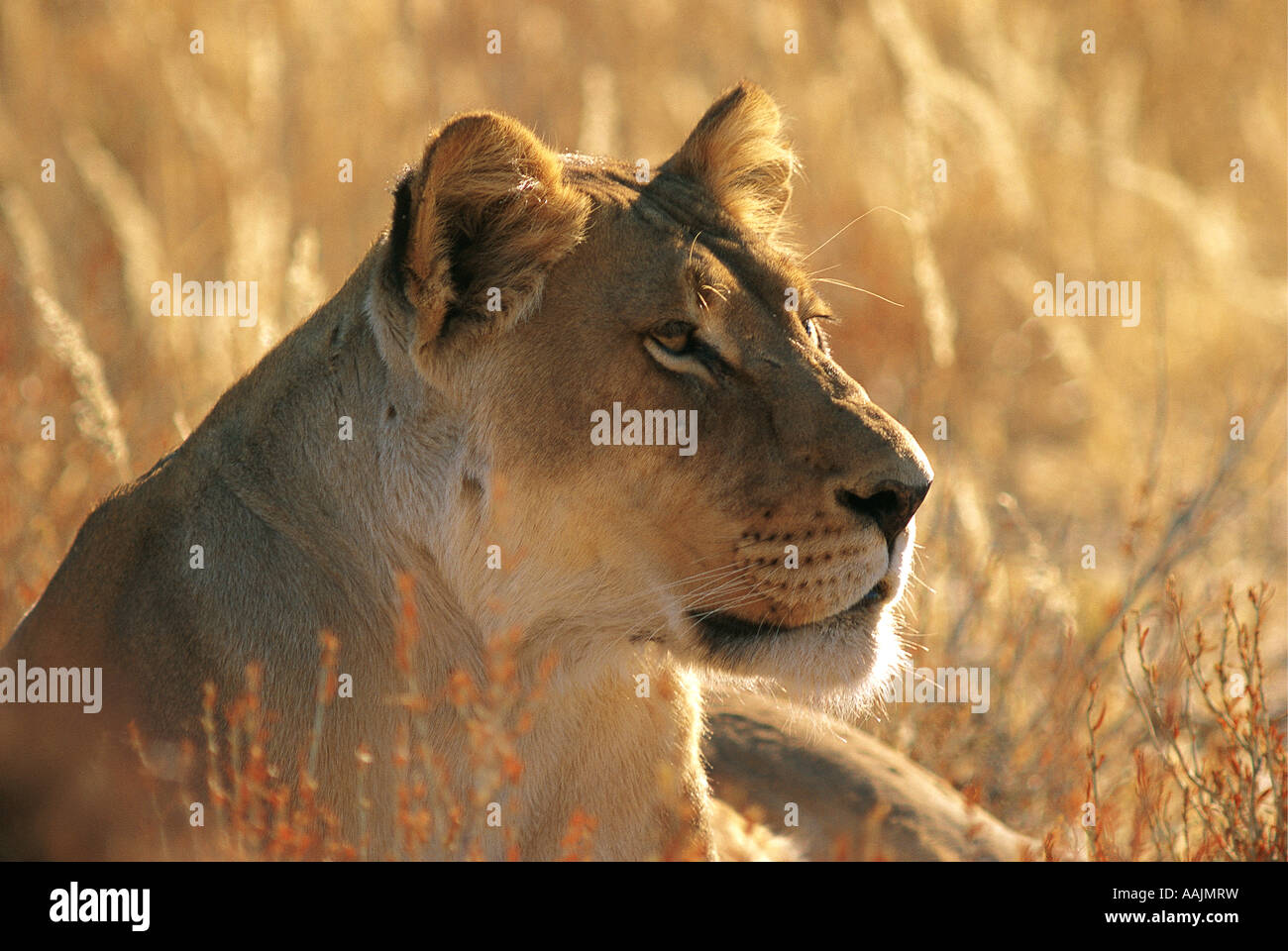 Portrait of Lioness in the Kalahari Northern Cape South Africa - Stock Image