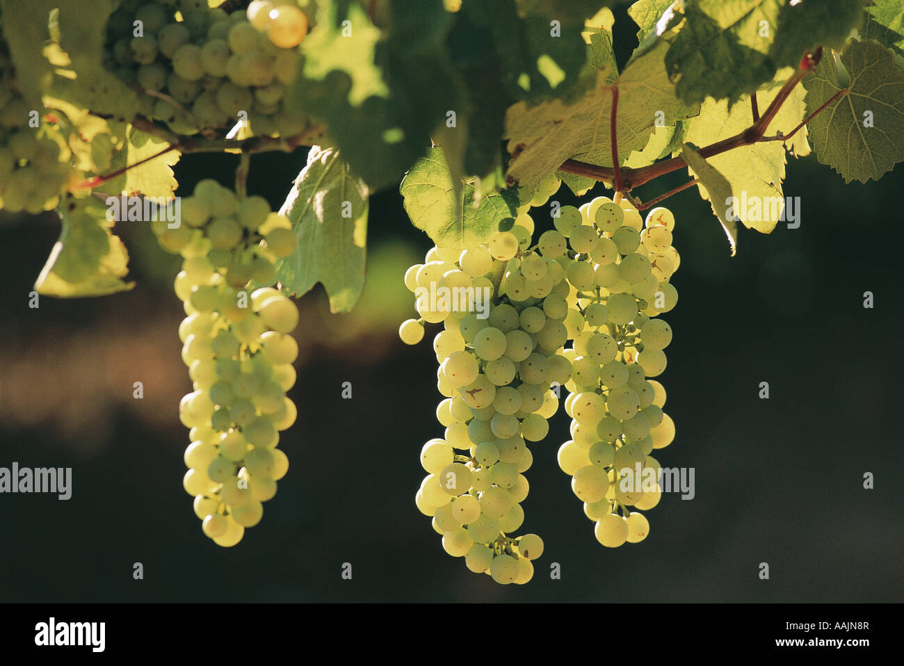 Grapes for wine wine growing on vines Western Cape South Africa - Stock Image