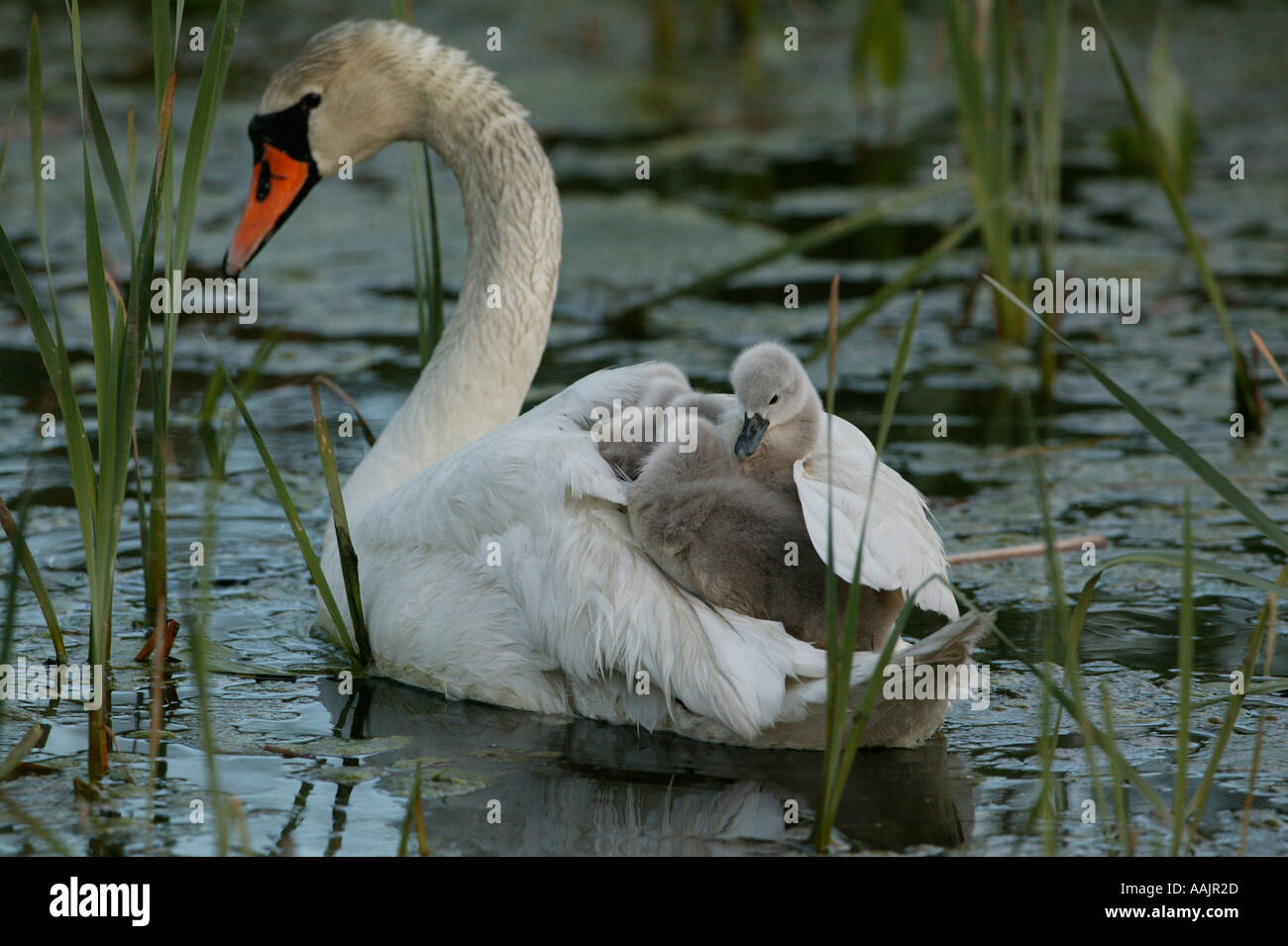 Mute swan family in the lake Vansjø, Våler kommune, Østfold fylke, Norway - Stock Image