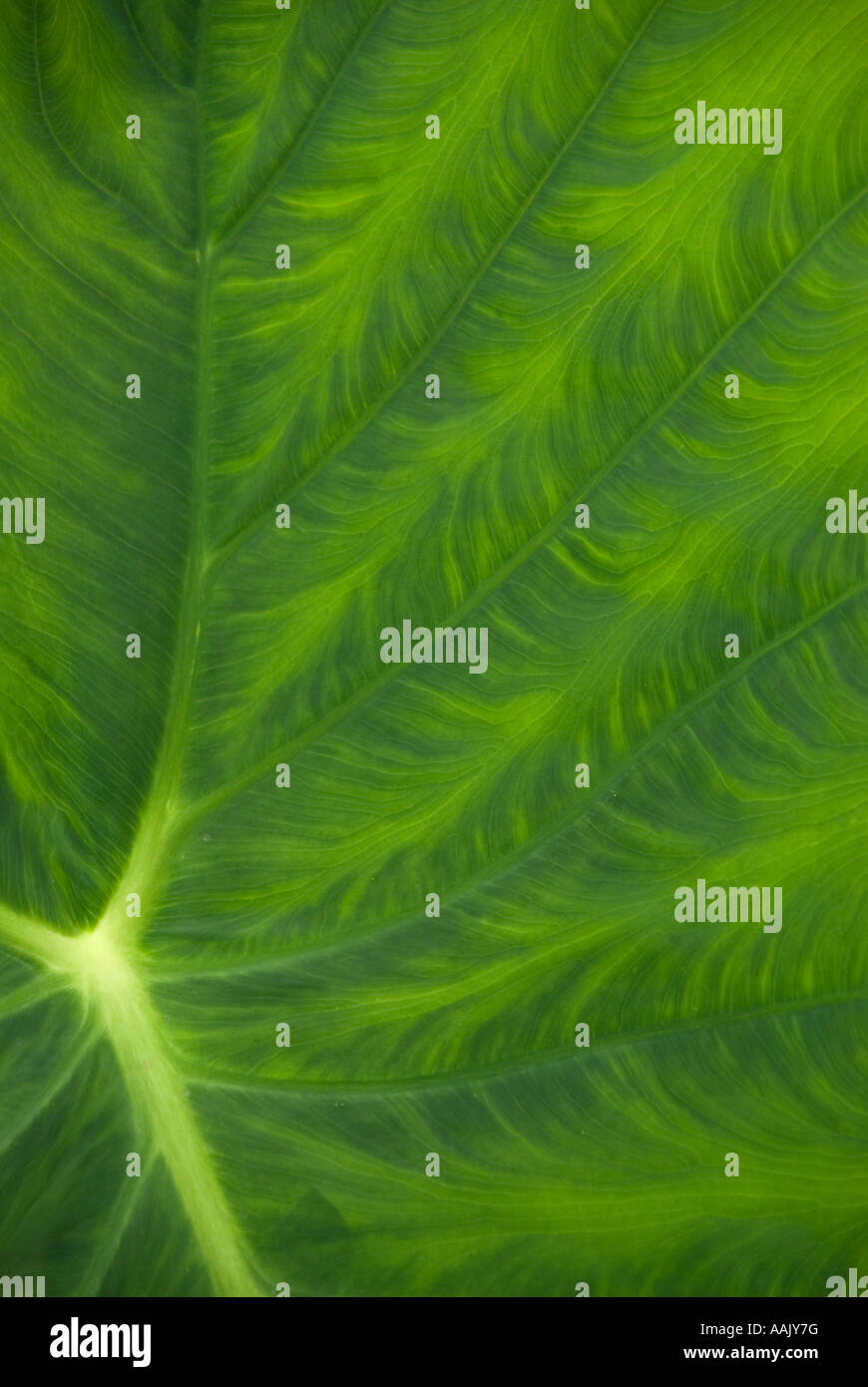 Taro, or Elephant Ears (Colocasia esculenta) leaf pattern - Stock Image