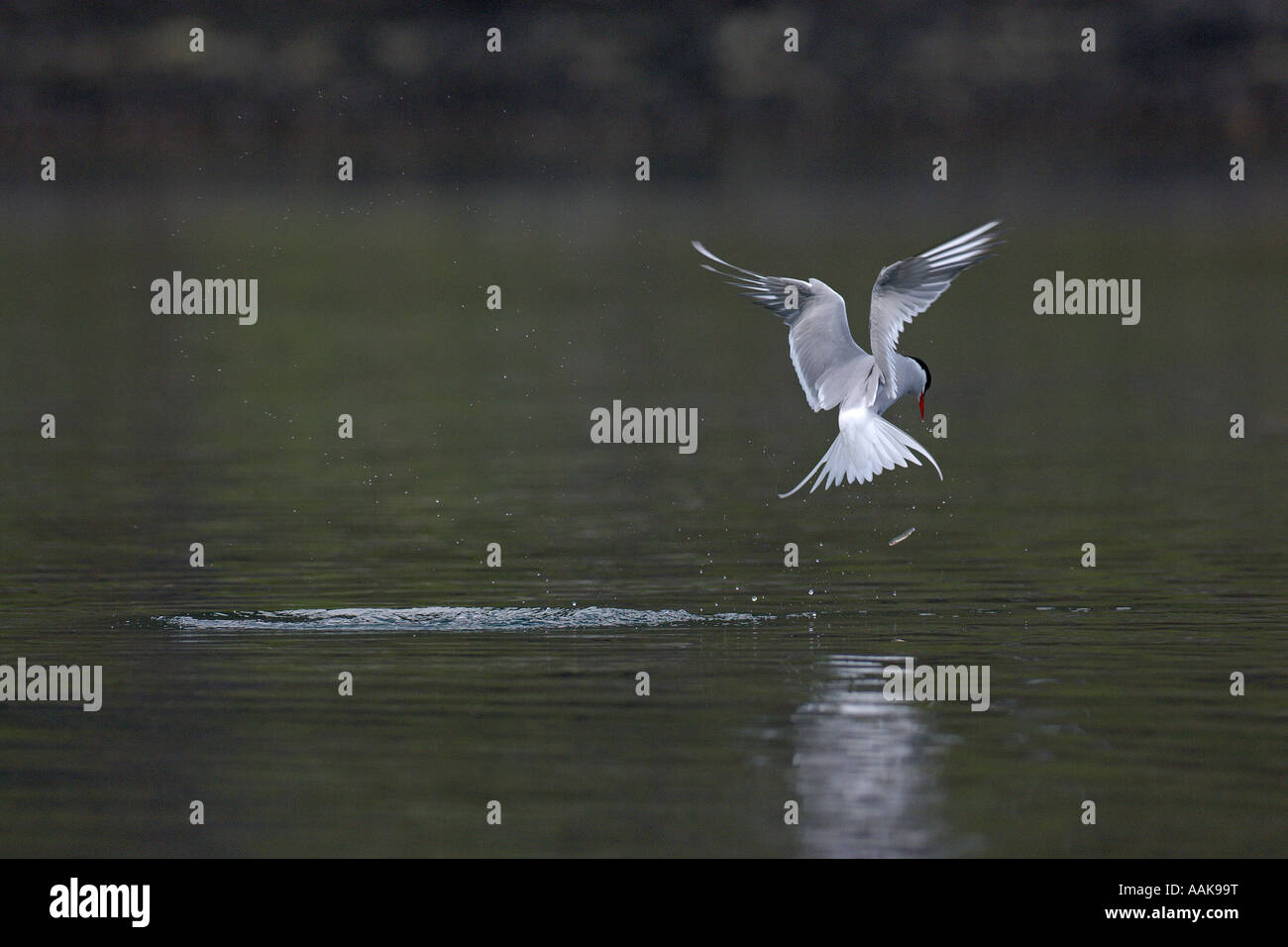 Arctic tern Sterna paradisaea fishing in sea loch Isle of Skye Scotland June 2007 - Stock Image