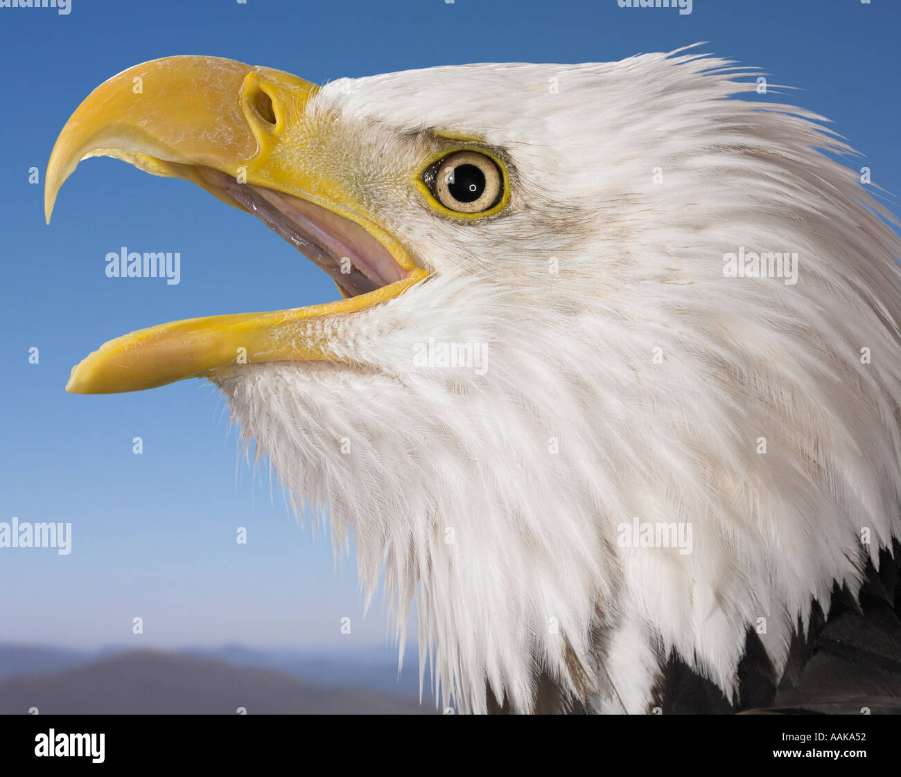 Bald eagle beak open Stock Photo: 2341457 - Alamy
