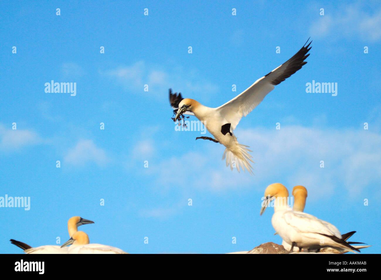 Gannet Northern adult against blue sky Morus Bassanus Saltee Islands Kilmore County Wexford Ireland Europe EU Stock Photo