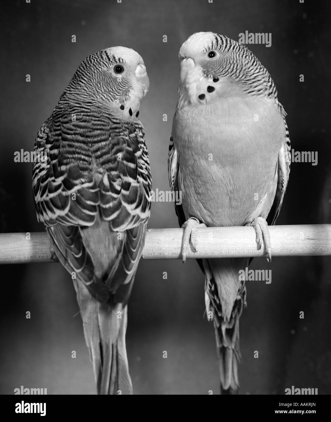 1960s PAIR OF PARAKEETS PERCHED IN OPPOSITE DIRECTIONS ON WOODEN DOWEL LOOKING AT EACH OTHER - Stock Image