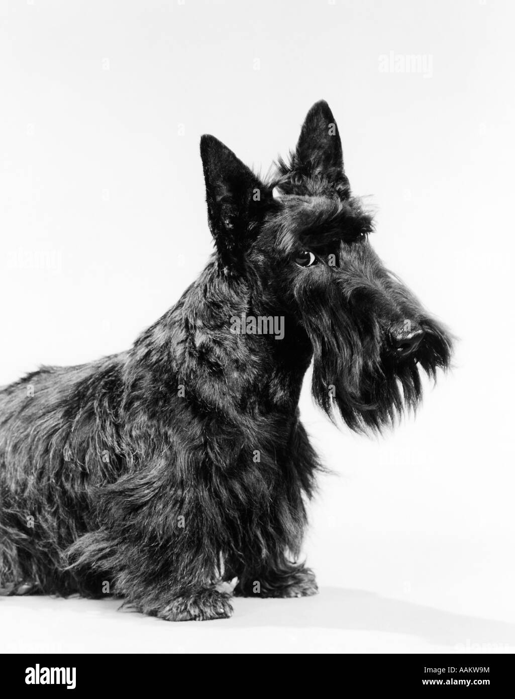 BLACK SCOTTIE SCOTTISH TERRIER DOG WITH HEAD SLIGHTLY TILTED LOOKING AT CAMERA - Stock Image