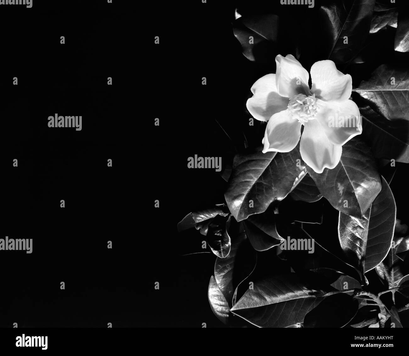 MAGNOLIA FLOWER BLOSSOM - Stock Image