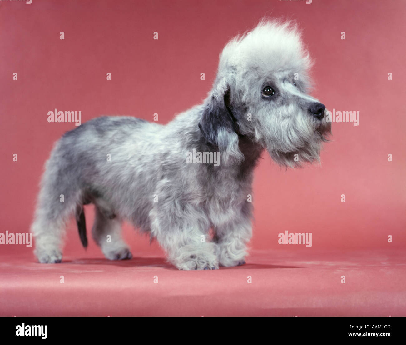 1950s DANDY DINMONT TERRIER 2 YEARS OLD SALISMORE PEASHOOTER RAGLAND - Stock Image
