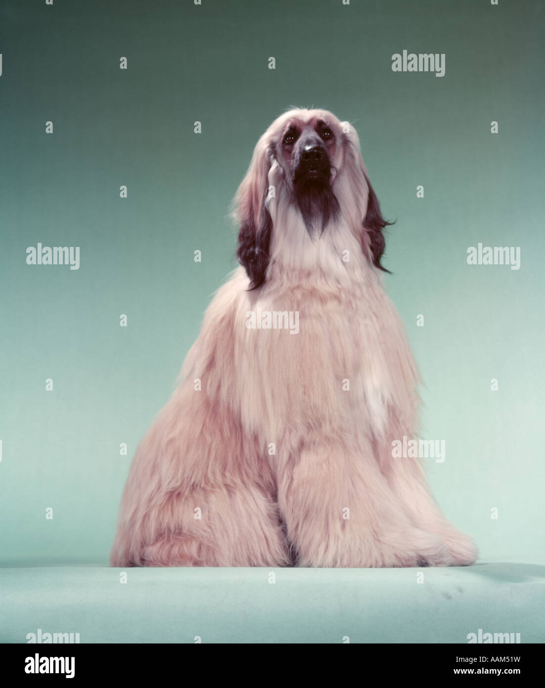 AFGHANS HOUND - Stock Image
