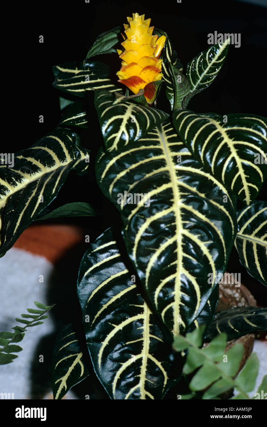 TROPICAL PLANT WITH YELLOW BLOOM BLOSSOM AND THICK GREEN BROAD LEAF LEAVES WITH WHITE SPINE & VEINS HOUSE PLANT - Stock Image