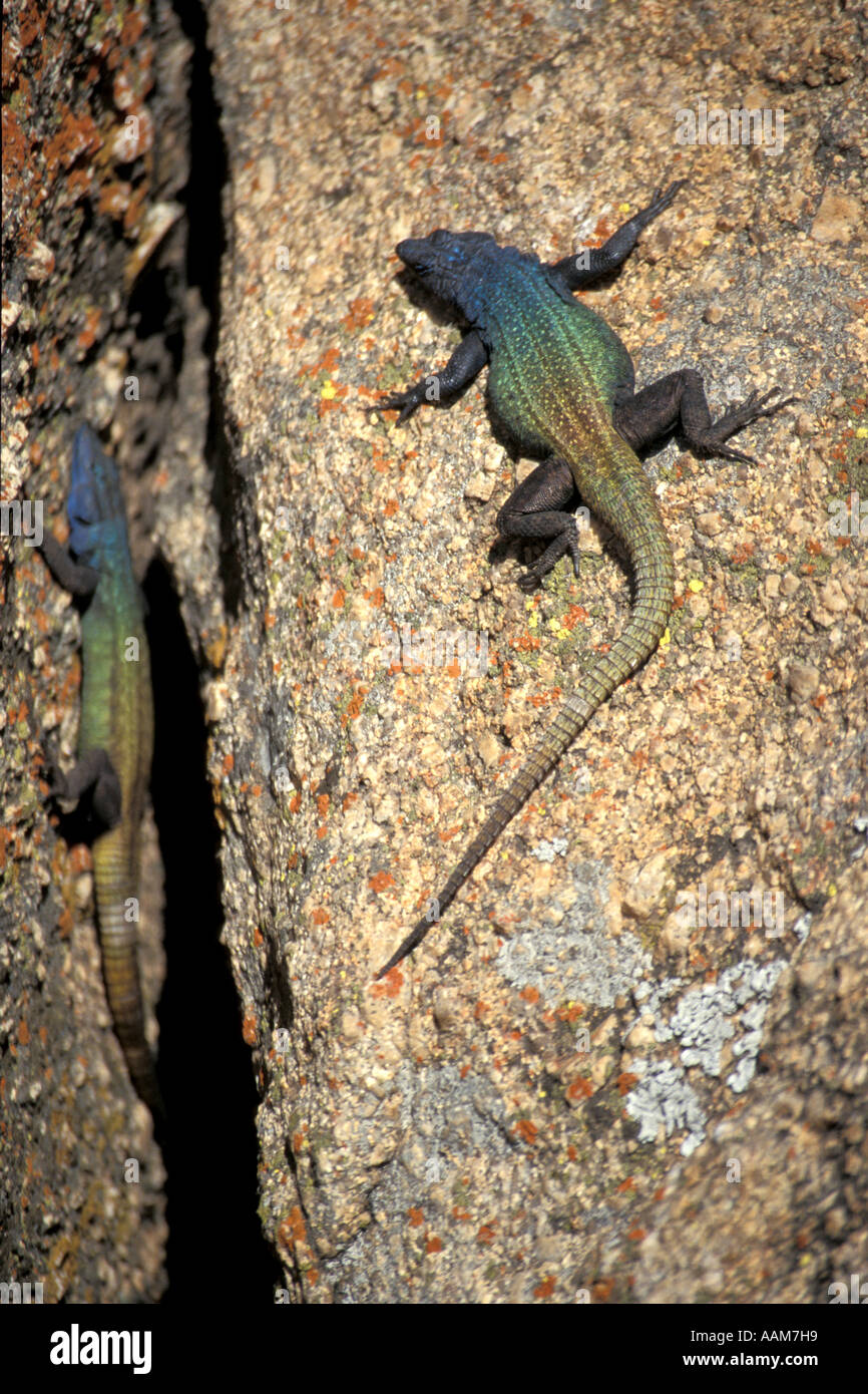 Lizard on the Hill at Cecil John Rhodes Rhodesia 'View of the World' Matopos Hills - Stock Image