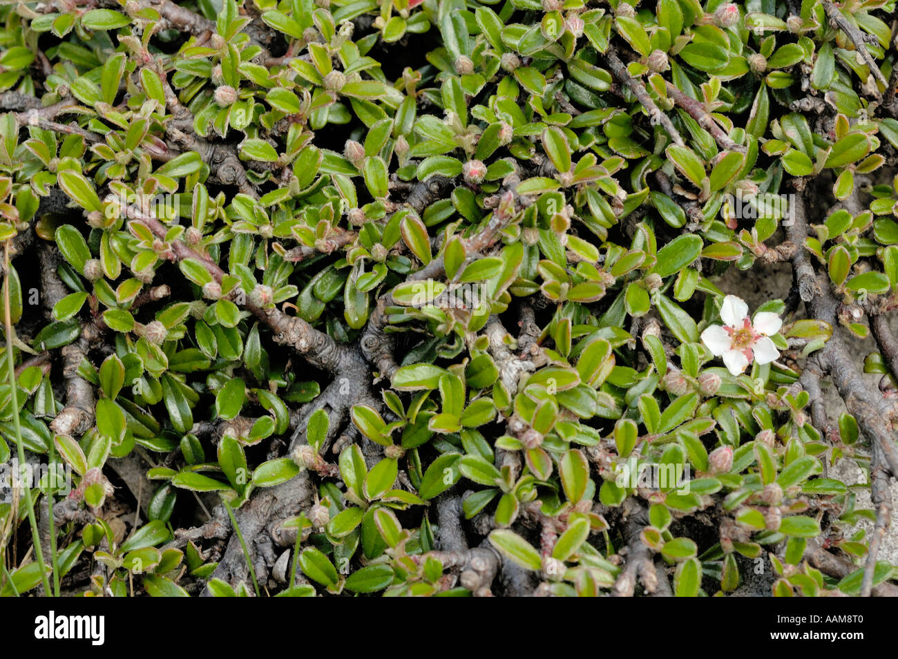 Entire-leaved Cotoneaster, Cotoneaster integrifolius - Stock Image