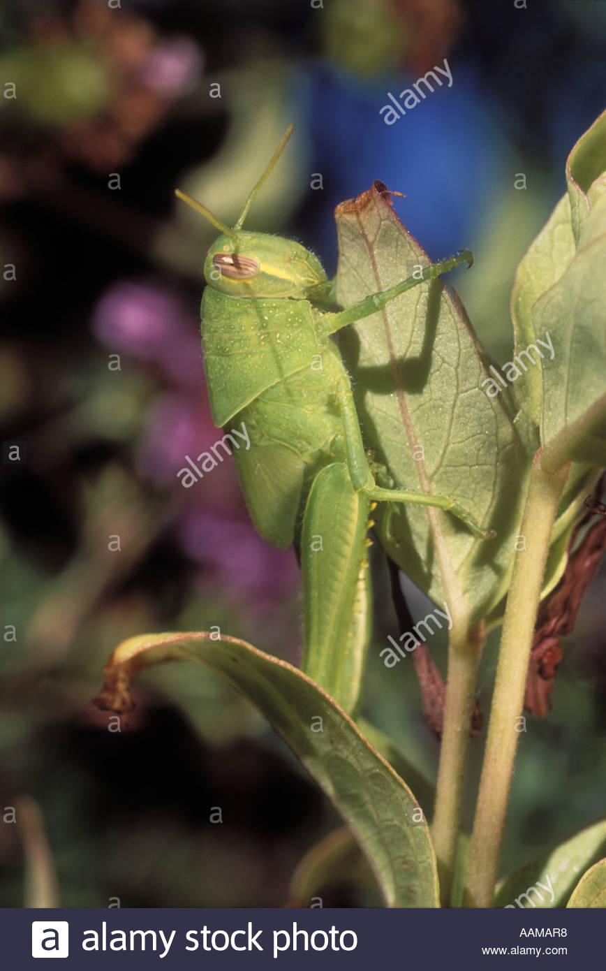 Vagrant grasshopper or gray bird grasshopper from California (nymph stage). Stock Photo