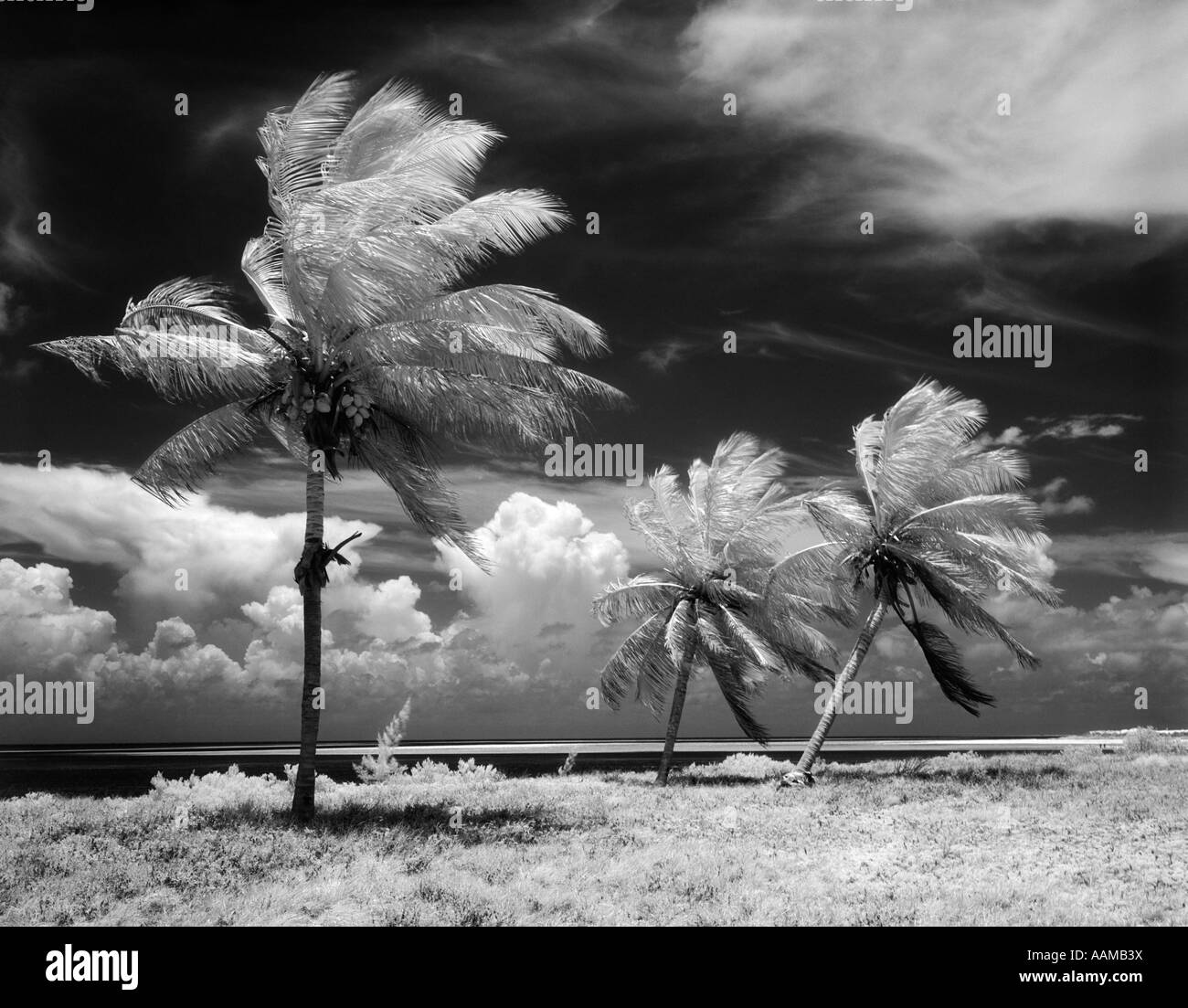 1960s TROPICAL SCENIC PALM TREES BLOWING IN STORM FLORIDA KEYS - Stock Image