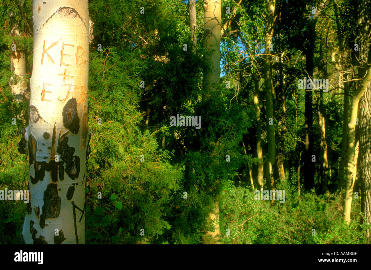carved grafitti on a tree in a wilderness or park area otherwise unspoiled - Stock Image