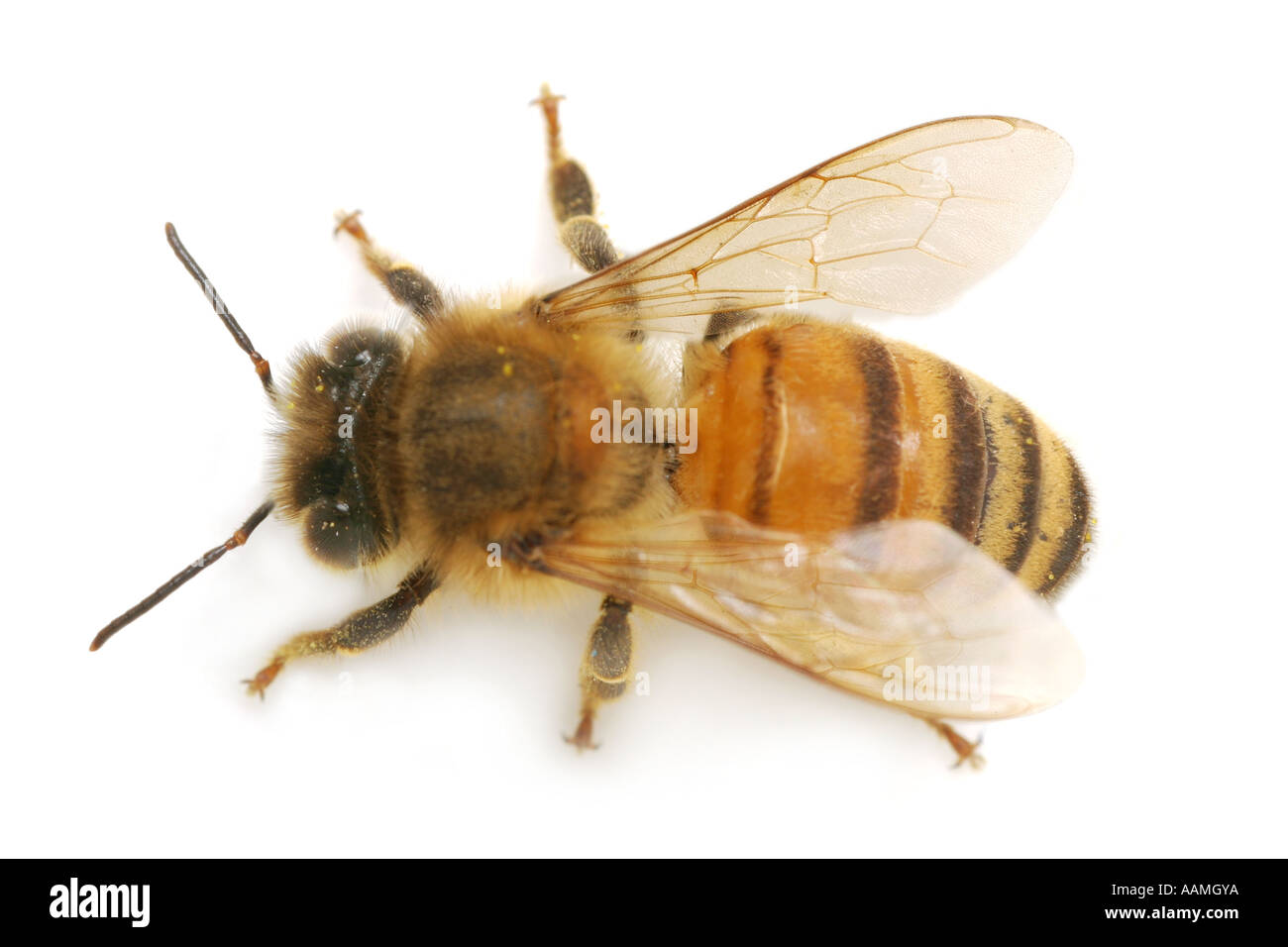 Close-up of a honeybee from above, on white background - Stock Image