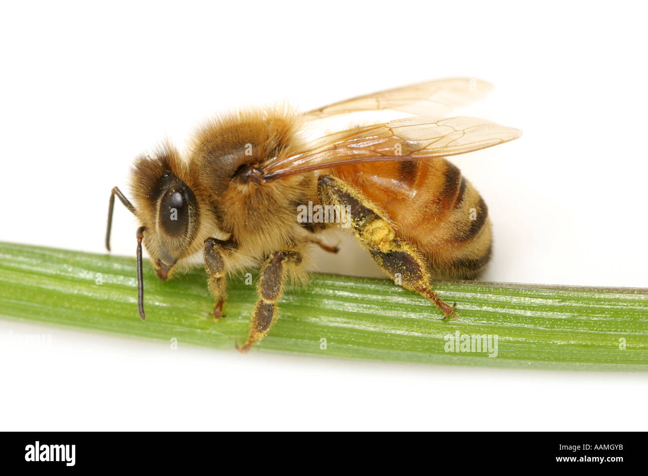 Honey bee on a green grass straw on white background - Stock Image