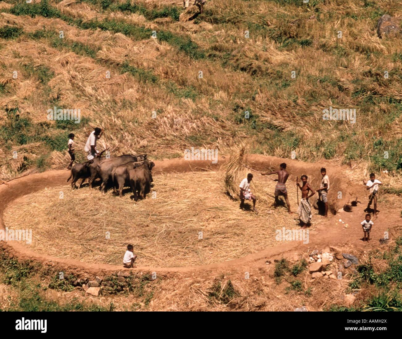 RETRO CEYLON PRIMITIVE RICE THRASHING TRAMPLING ANIMALS - Stock Image