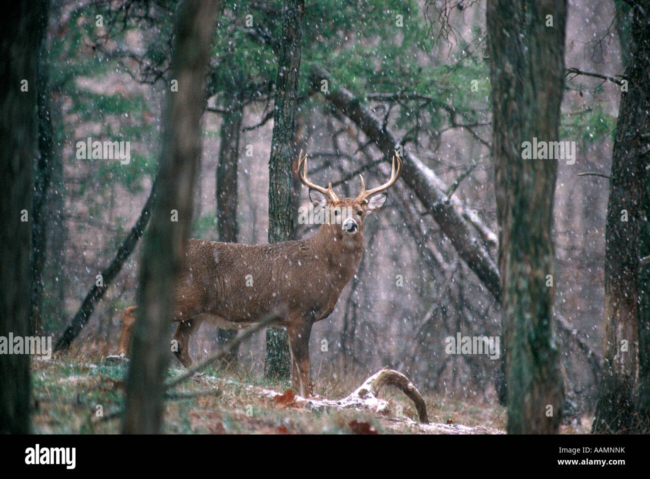 EIGHT POINT WHITETAIL DEER BUCK IN SNOWSTORM Stock Photo