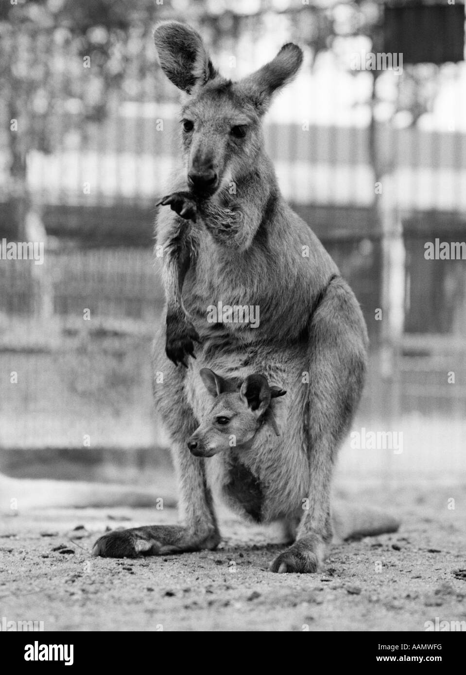 1940s KANGAROO STANDING WITH JOEY IN POUCH - Stock Image