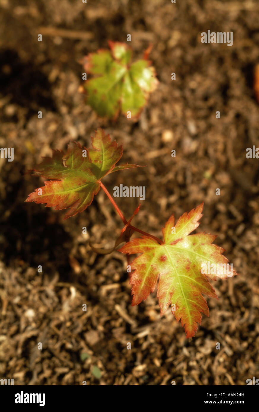 Close up of a young Parthenocissus plant leaves - Stock Image