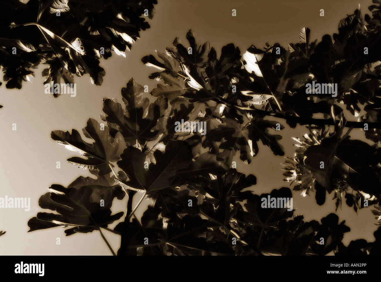 Detail of Common Fig leaves (Ficus Carica) - Stock Image