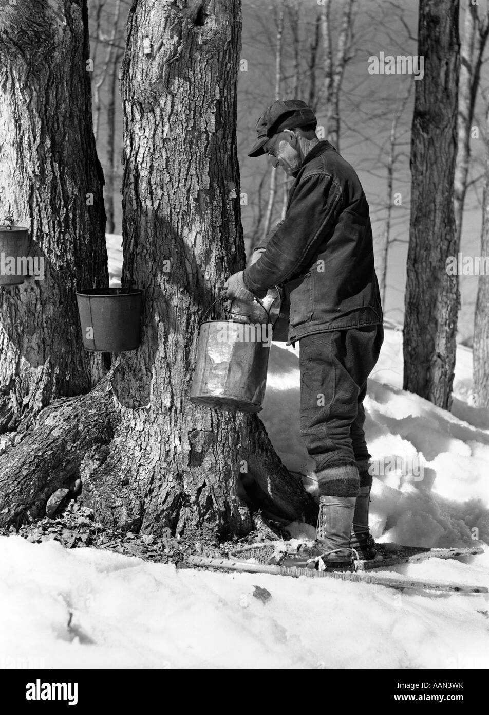 1930s 1940s MAN TAPPING MAPLE SUGAR TREES IN MAINE - Stock Image