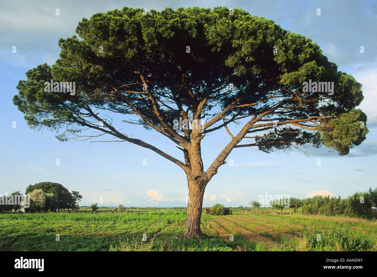 Stone pine tree or Italian Pine or Parasol Pine ( Pinus pinea) tree - Stock Image