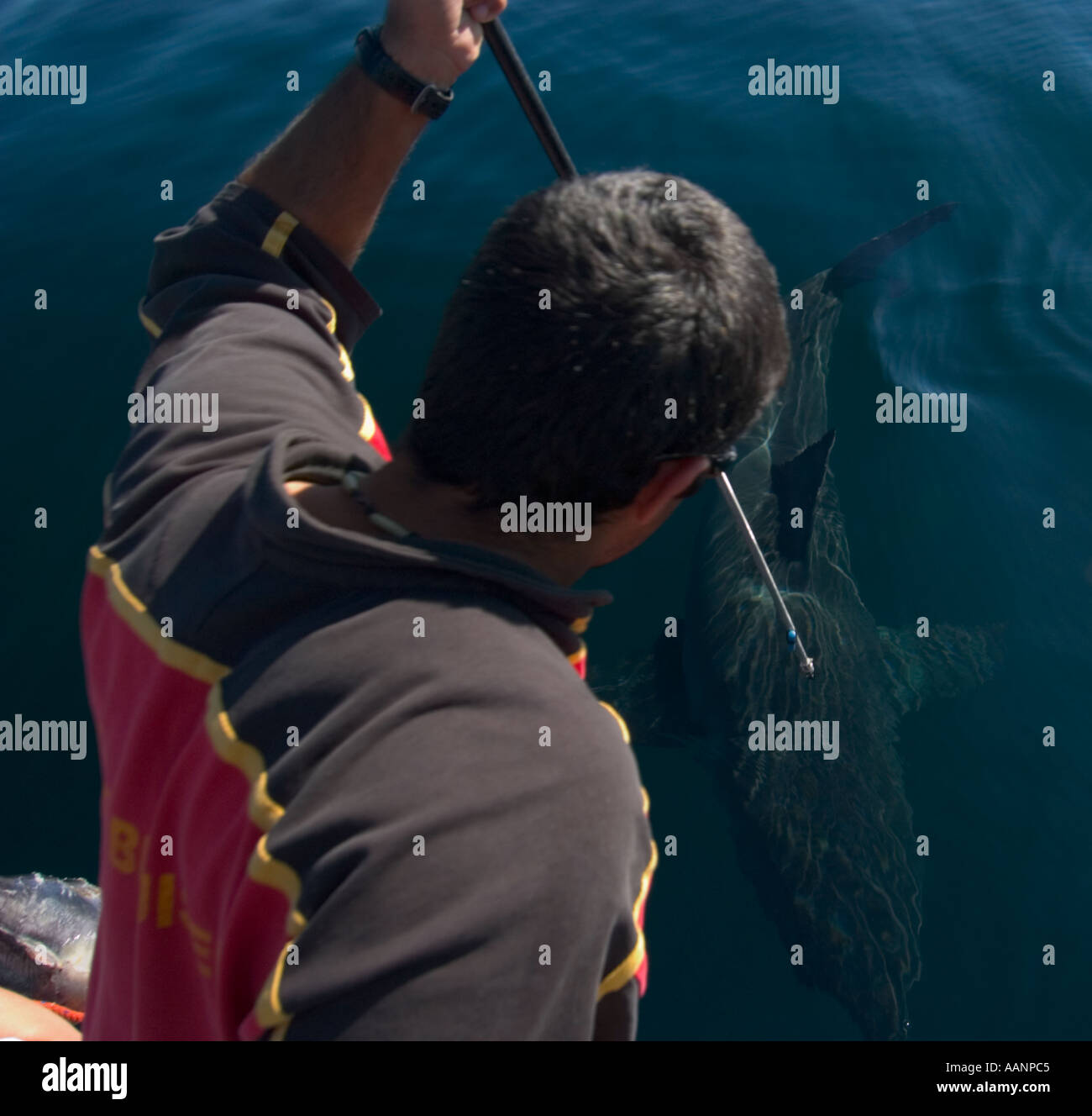 Scientists tagging great white shark Ryan Johnson in False bay south africa - Stock Image