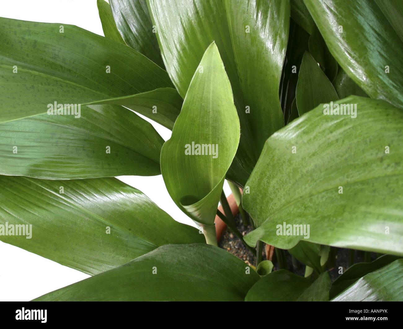 cast iron plant (Aspidistra elatior), potted plant Stock Photo