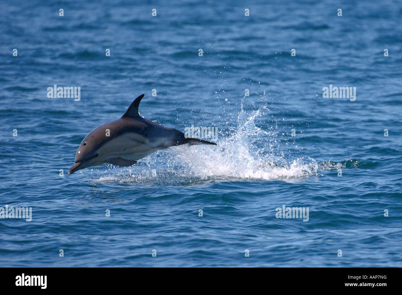 Short beaked common dolphin Delphinus delphis breaching near isle of Coll Scotland June - Stock Image