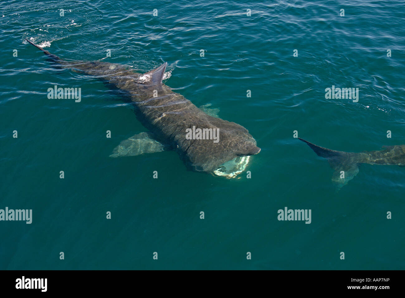 Basking sharks Cetorhinus maximus filter feeding near isle of Coll Scotland June - Stock Image