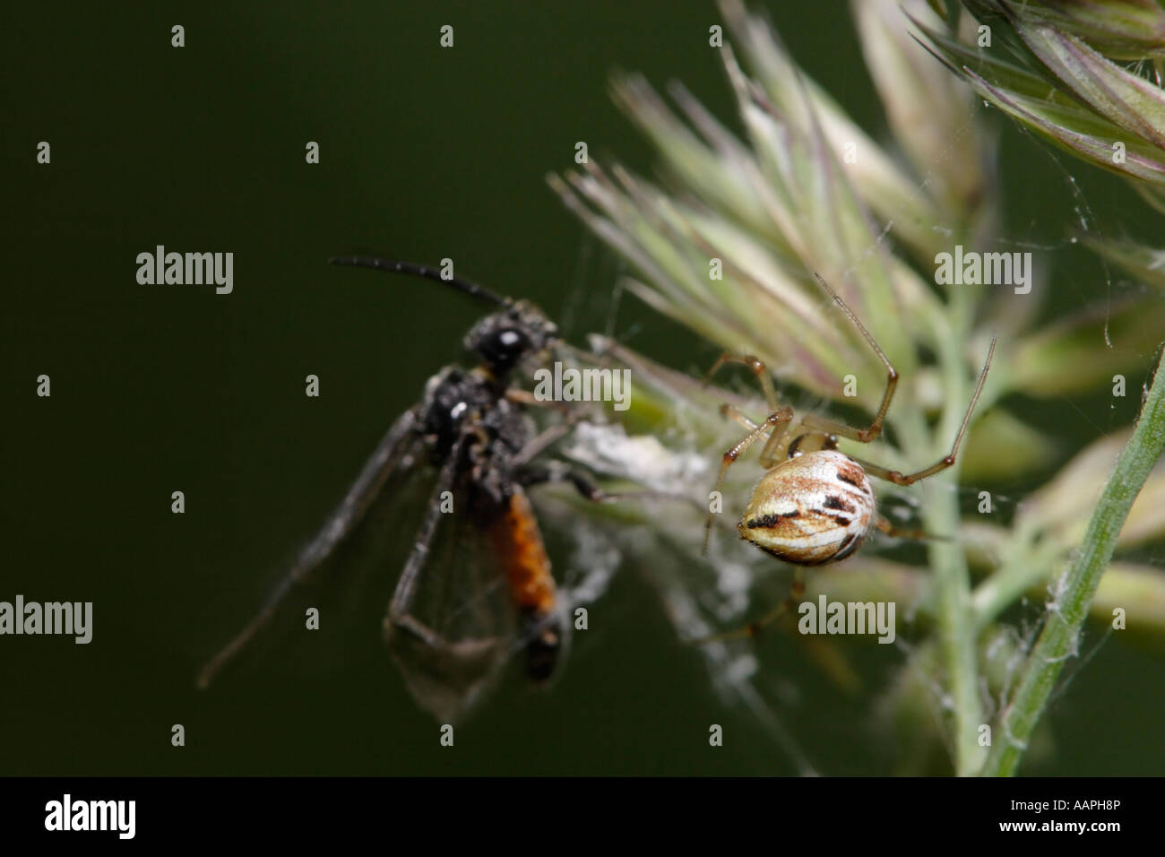 Spider catching wasp (Theridion impressum and sawfly) - Stock Image