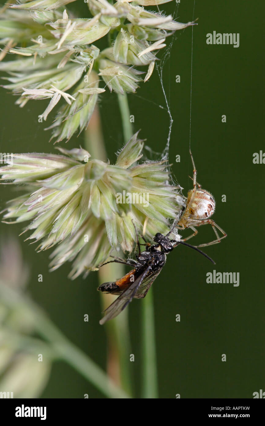Spider trying to catch a wasp in its net (Theridion impressum or Phylloneta impressa and sawfly) - Stock Image