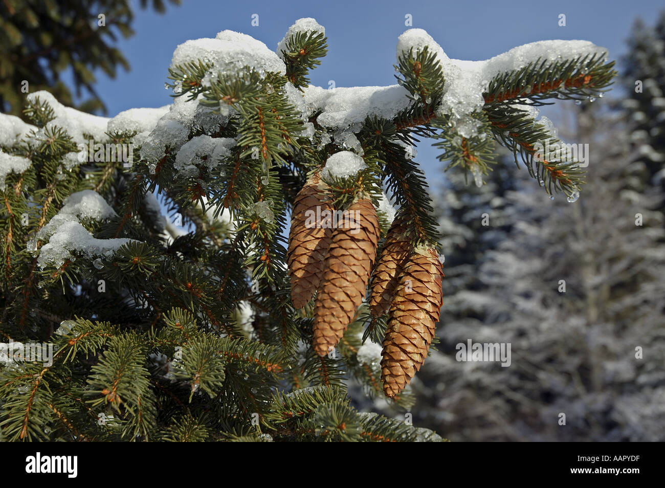 Fir tree cones and branches with snow in winter - Stock Image