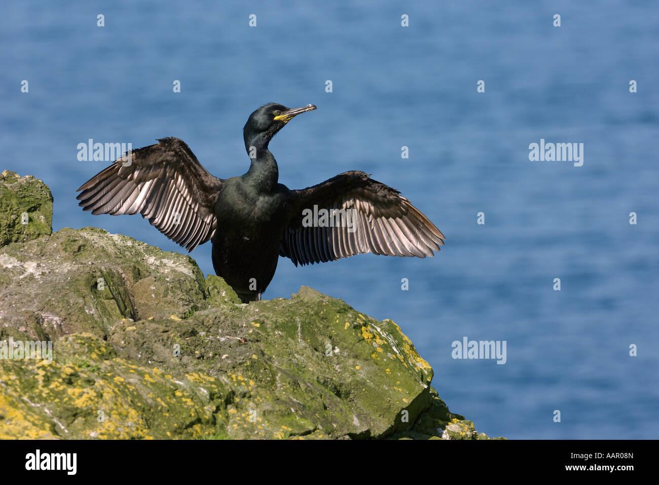 Shag Phalacrocorax aristotelis adult drying wings Isle of Lunga Scotland June - Stock Image
