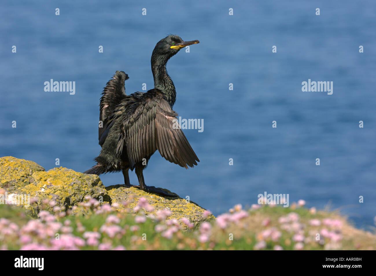 Shag Phalacrocorax aristotelis adult drying wings among thrift Armeria maritima Isle of Lunga Scotland June - Stock Image